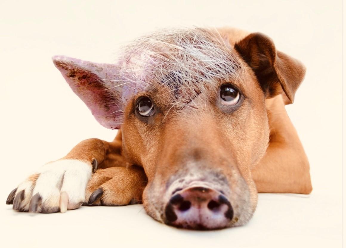 hond-varken